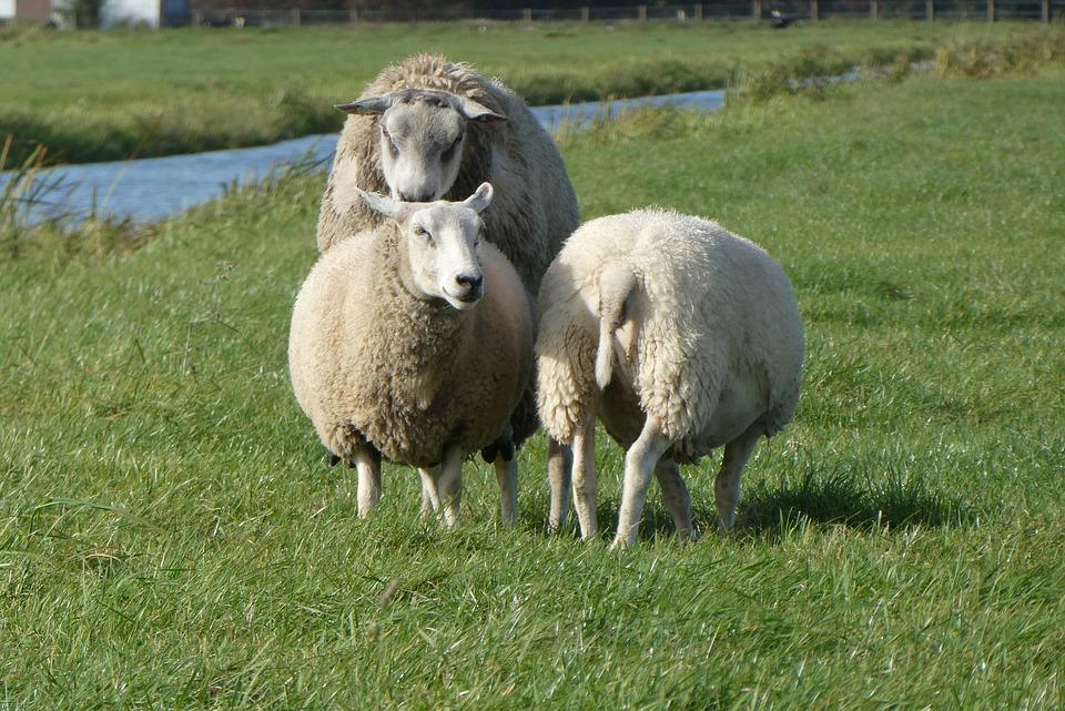 Парень украл у односельчанина двух овец и ягнёнка и забил их на мясо